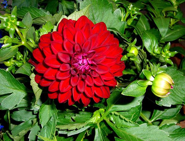 w-140608-blomst-4511