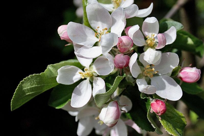 k-280510-6383-epleblomster