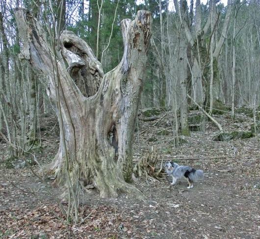 Ung hund og gammelt tre i Ankerveien